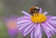 Eine Biene sucht nach Pollen