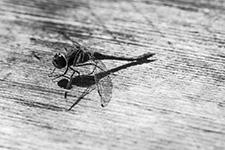 Eine Libelle in schwarz-weiß