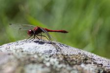 Eine Libelle auf einem Stein