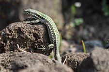 Ein Salamander auf Wanderschaft